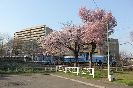 青葉台公園の桜とカシオペア01.jpg