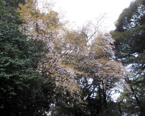 yamazakura1.jpg