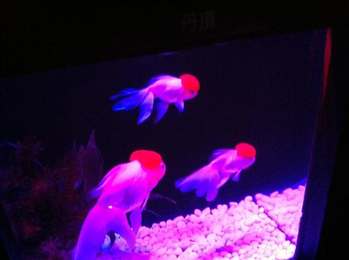 art-aquarium-2012_8537.JPG