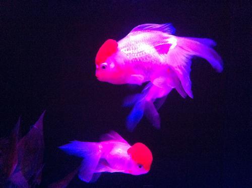 art-aquarium-2012_8538.JPG
