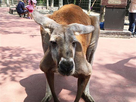 kangaroo_5567a.jpg
