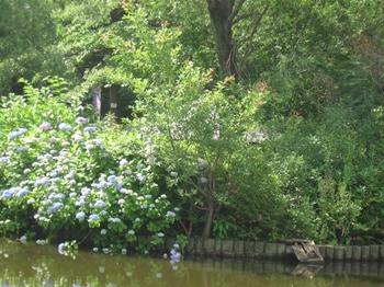 池の向こうの小島の紫陽花が・・・.jpg
