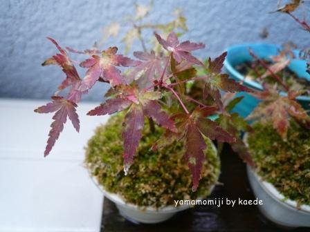 盆栽 091124-1b.jpg