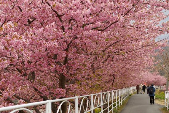 河津桜 (200)-570.jpg