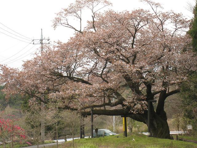 20.04.13栃木の桜 023.jpg