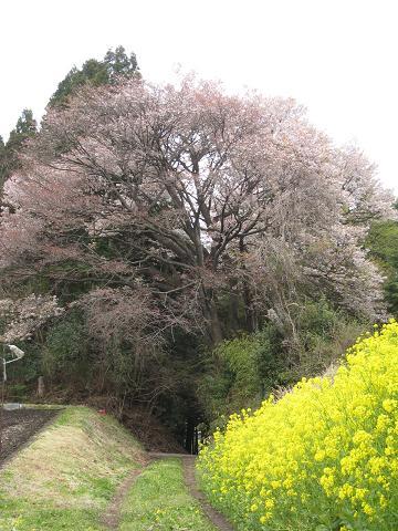 20.04.13栃木の桜 061.JPG