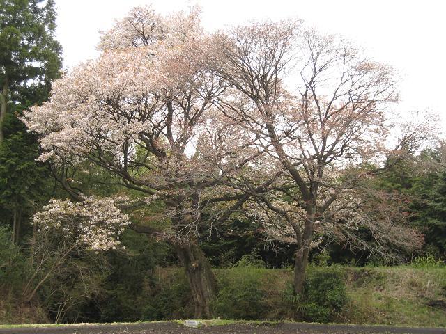 20.04.13栃木の桜 088.JPG