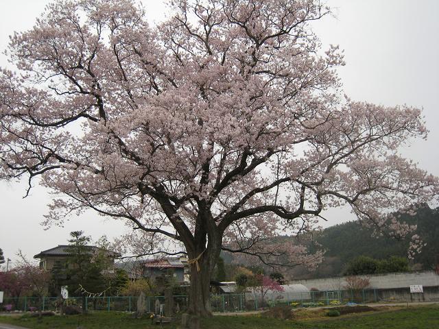 20.04.13栃木の桜 226.JPG