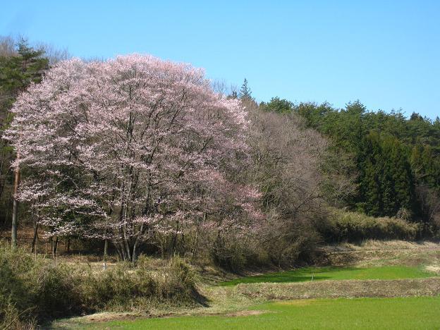 7福桜.JPG