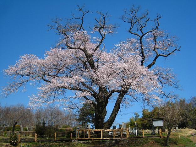 寺子桜.JPG