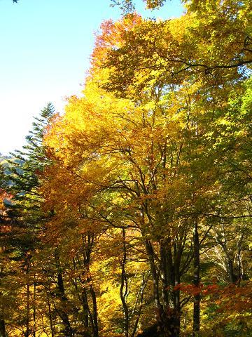 黄色の木々の間を.JPG
