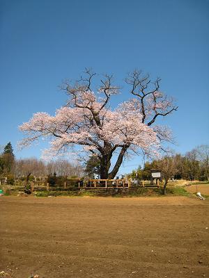 1本桜.JPG