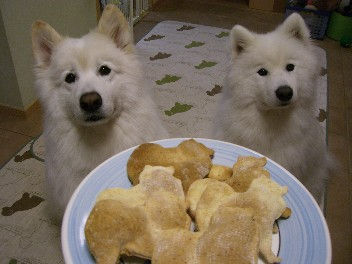 Image result for 犬 samoyed クッキーを食べる