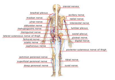 peripheral-nervous-system.jpg