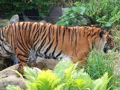 虎Small.jpg