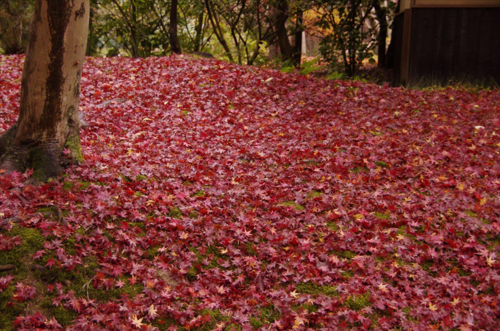 ぞ 秋 に 聞く の もみじ 奥山 は 声 鳴く 踏み分け 時 悲しき 鹿