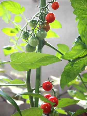 tomato2012_7_5_02.jpg