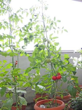 tomato2012_7_5_03.jpg