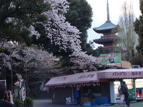 上野公園の桜(2).jpg