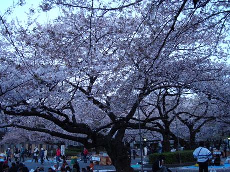 上野公園の桜(3).jpg