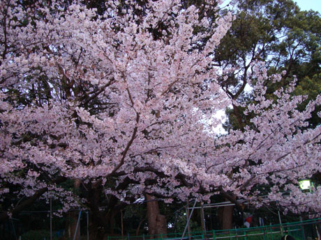 上野公園の桜(7).jpg