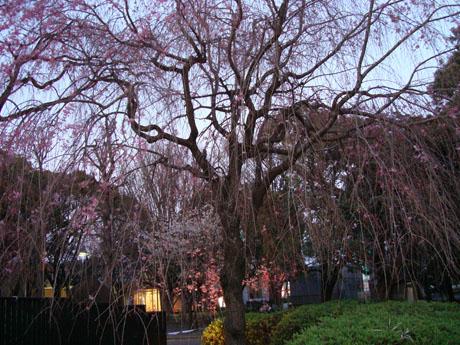 上野公園の桜(9).jpg