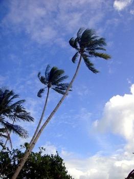 3.ディブルアン島椰子の木1.JPG