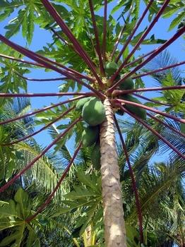 5.ディブルアン島椰子の木2.JPG