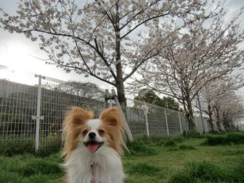 苺桜.jpg