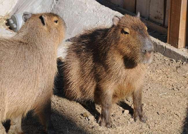 H24.01.07Capybara326-s.JPG
