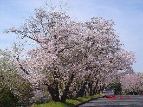 市営霊園の桜DSC02877.jpg