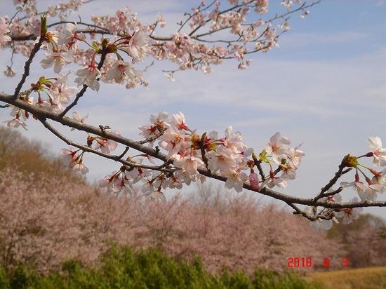 市営霊園の桜2DSC02883.jpg