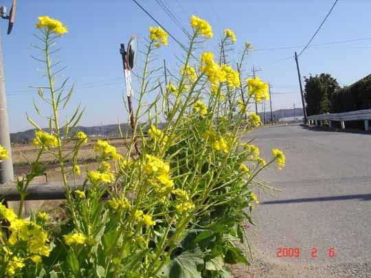 菜の花の道.jpg