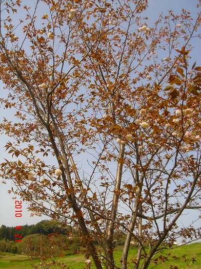 鎌足桜1.jpg