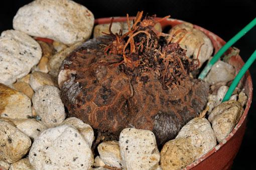 Cyclamen's Bulb