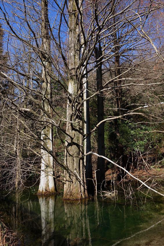 10 沼杉.JPG