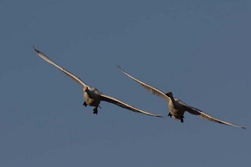 001'09白鳥① 098-2.jpg