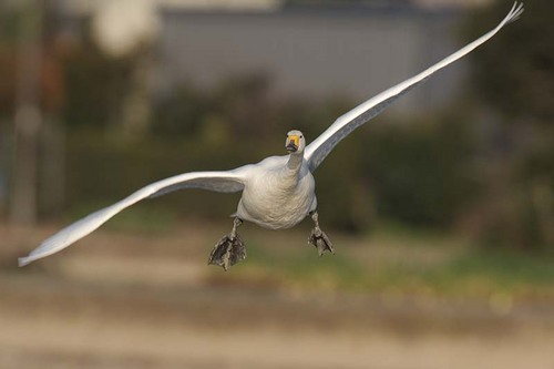011'09白鳥① 218-2.jpg
