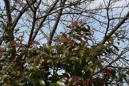 桜はまだ9/3/18/-2.jpg