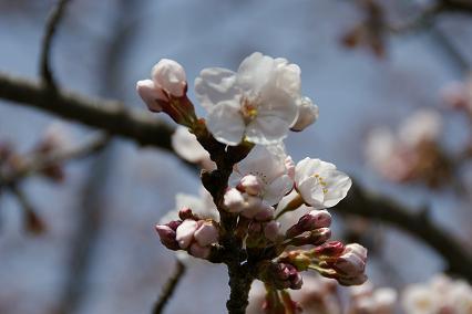 桜咲き始め8/4/4/-2.jpg