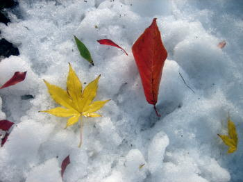 201212イチョウと雪5.jpg