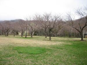 20130509キャンプ場の桜の木.jpg