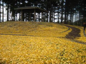 秋も終り07イチョウのじゅうたん.jpg
