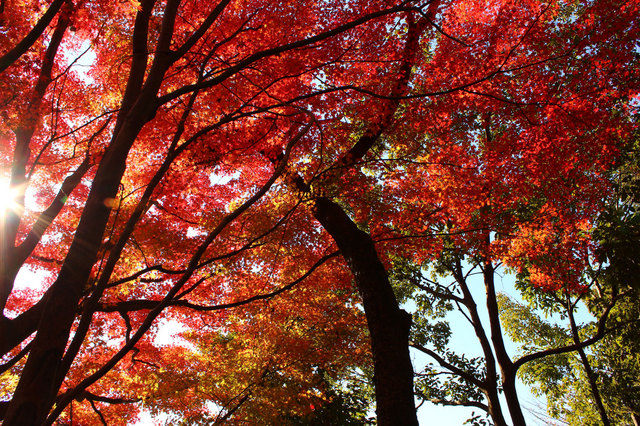 bEIMG_1059-八幡山紅葉.jpg