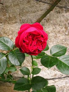 bIMG_3082薔薇.jpg