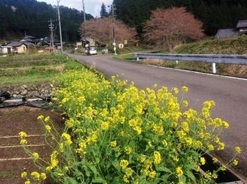 菜の花(関市中之保 久須地区)2015-04-15.jpg