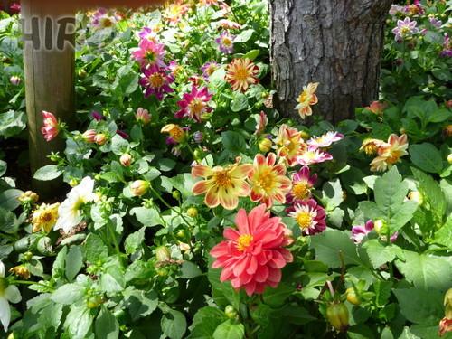 ケープコッドの草花_20110604_01.jpg