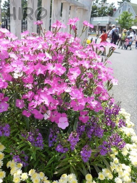 ケープコッドの草花_20110604_03.jpg