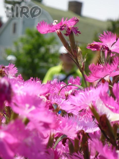 ケープコッドの草花_20110604_04.jpg