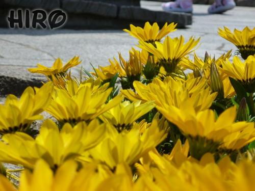 ケープコッドの草花_20110604_07.jpg